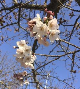 桜_サムネイル